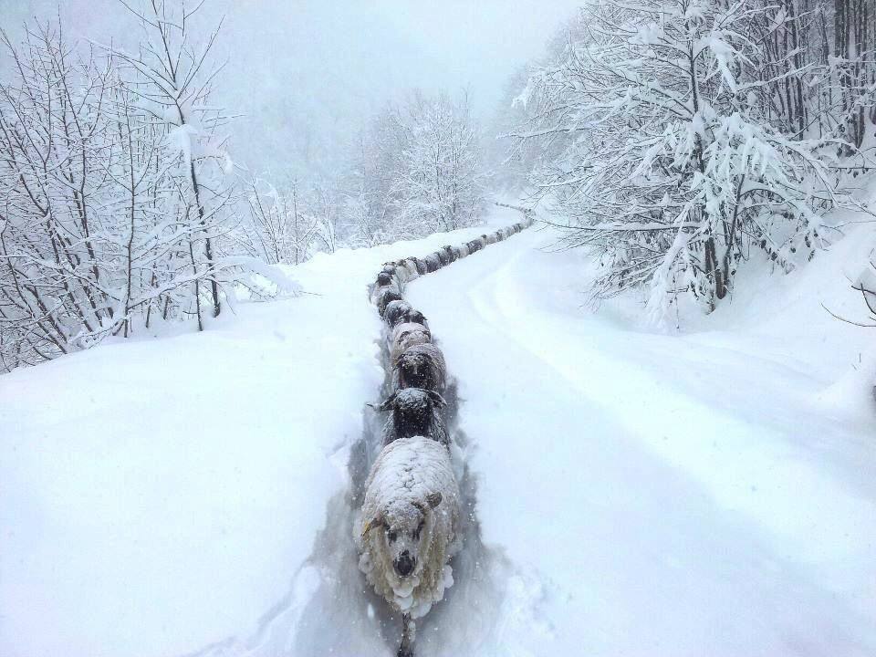 sled dogs mushing photo